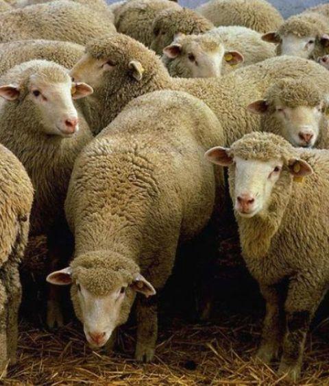 sheep31