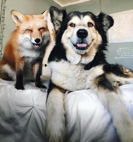 dog-fox-modified